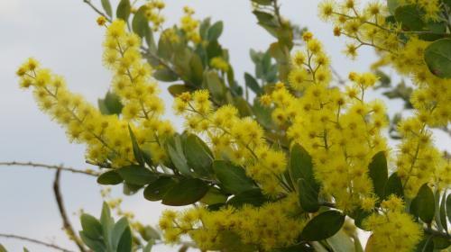 2017 3 7 ミモザの花