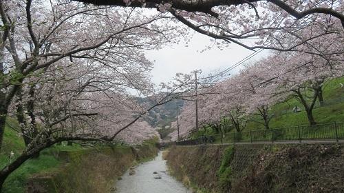 2017 4 9 山中渓の桜