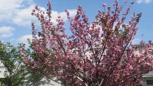 2017 4 19  牡丹桜