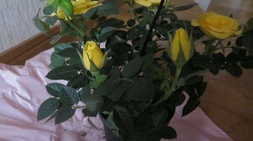 2017 5 14 黄色のバラ