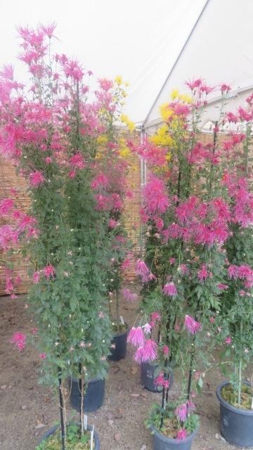 2017 5 21 大京都展 舞妓さん