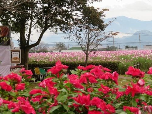 2019 10 18 秋桜