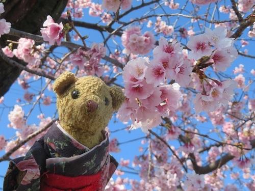 2020 3 6 早咲桜&ベァー