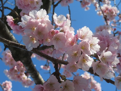 2020 3 6 早咲桜