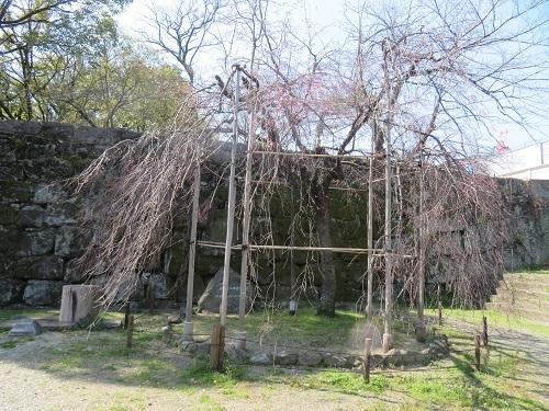 2020 3 17 お城の枝垂れ桜