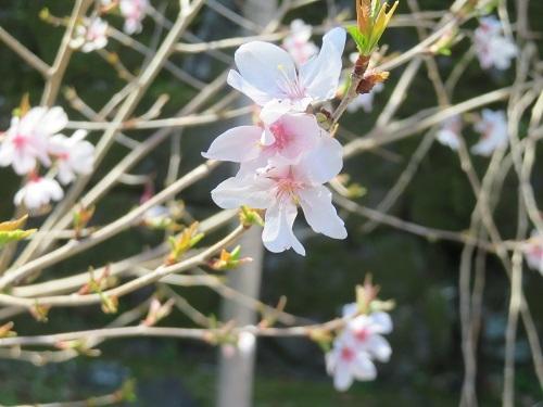 2020 3 23 お城 枝垂れ桜