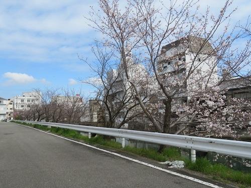 2020 3 31 川沿いの桜並木