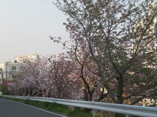 2020 4 18 川沿いの桜