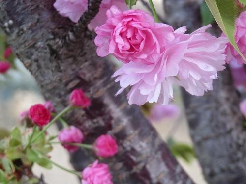 2020 4 17川沿いの桜