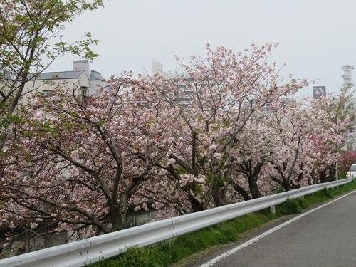 2020 4 17 川沿いの桜並木