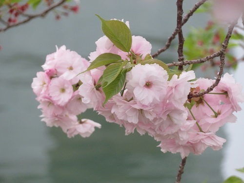 2020 4 17 川沿いの桜