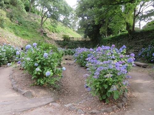 2020 6 9 お城の紫陽花園