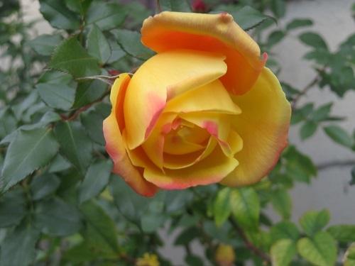 2018 12 30 薔薇