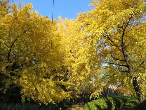 2017 11 28 お城 三年坂のイチョウの木