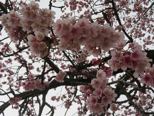 2019 2 15 早咲桜が見頃です。