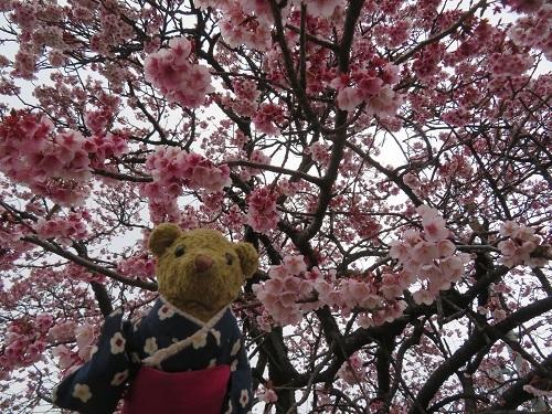 2019 2 15 早咲桜が見頃です&べぁー
