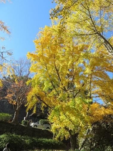 2020 12 2 三年坂の銀杏の木