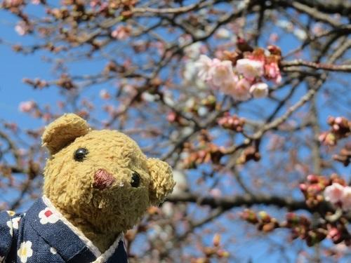 2021 1 25 早咲桜&ベァー