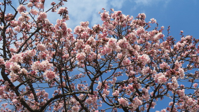 2021 2 9 早咲桜
