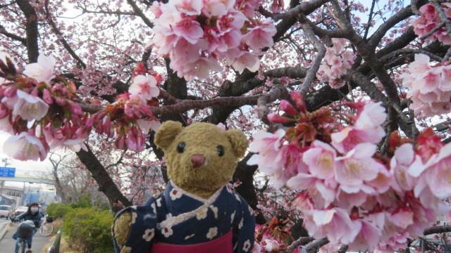 2021 2 9 早咲桜&ベァー