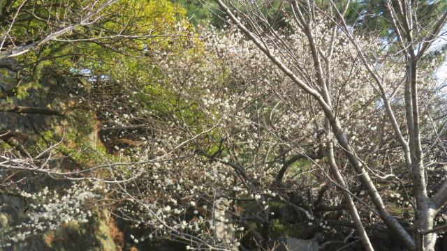 2019 3 12 天然記念物 蓬莱桜
