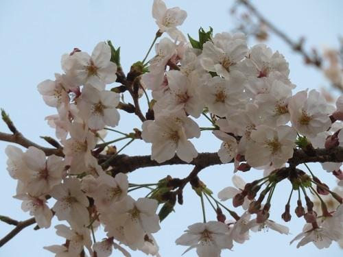 2019 4 6 お花見(三角公園)