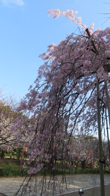 2018 2 20 早咲き桜