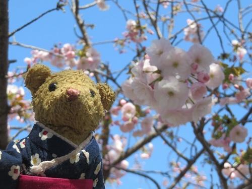 2019 4 12 牡丹桜&べぁー