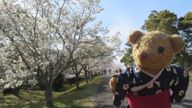 2019 4 12 牡丹桜