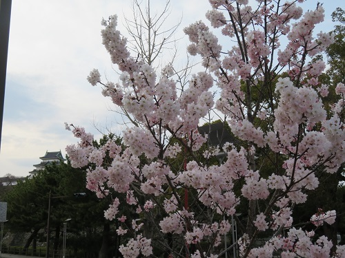 2018 3 15 お城(早咲き桜)