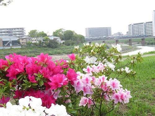 2019 5 2 つつじまつり 浅香山緑道