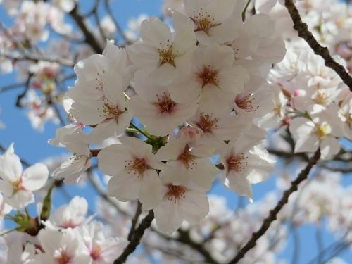 2018 3 30  桜並木の下をウオーキング (河西公園)