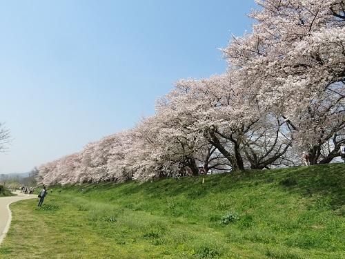 2018 4 3 背割堤 の桜