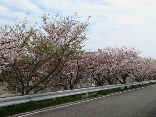 2018 4 5 八重桜 (牡丹桜)